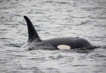 Manada de orcas atacan un barco durante 2 horas cerca de costa de Portugal