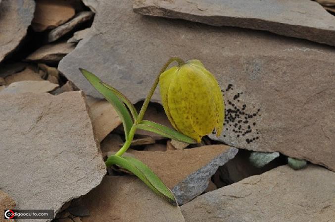 Una planta ha evolucionado para mantenerse «oculta» de los humanos