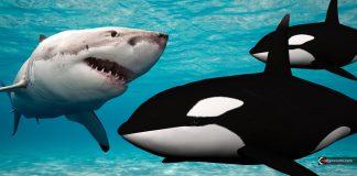 Orcas están destrozando a tiburones blancos para comer sus hígados