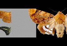 Polillas desarrollan metaestructura en las alas que absorbe el sonido y puede evitar la ecolocalización de los murciélagos
