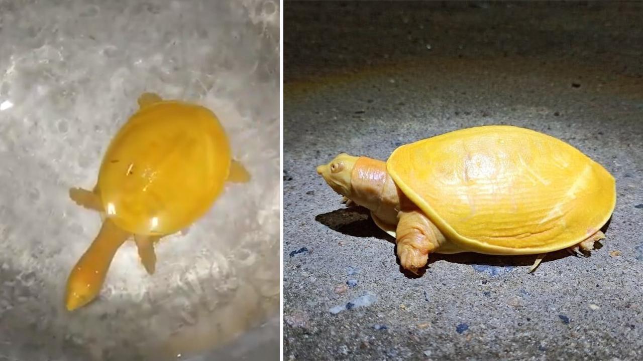 Tortugas amarillas empiezan a aparecer en la Tierra. ¿Una señal para el futuro?