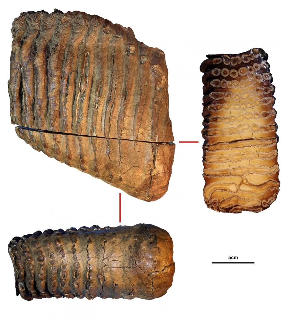 Secuencian ADN de mamut de 1 millón de años