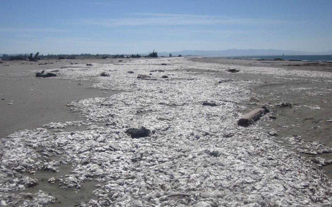 Millones de medusas muertas están apareciendo en todo el mundo