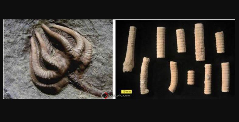¿Tornillo de 300 millones de años o una criatura fosilizada?