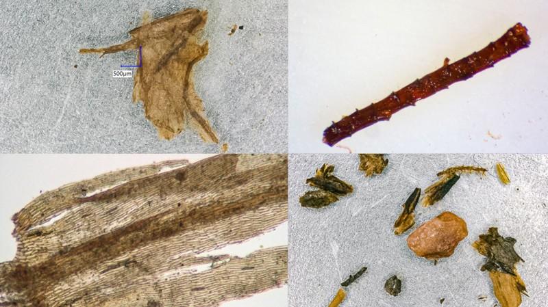 Ramitas, hojas y muestras de musgo del núcleo de hielo de Camp Century en Groenlandia