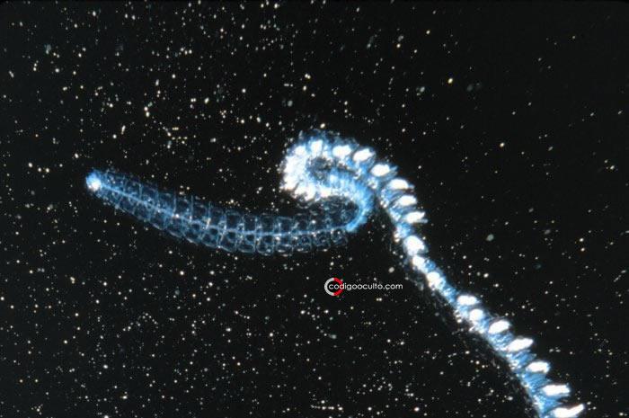 Siphonophore Nanomia