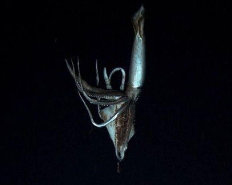 El calamar de 3 metros se filmó frente a las costas de Japón