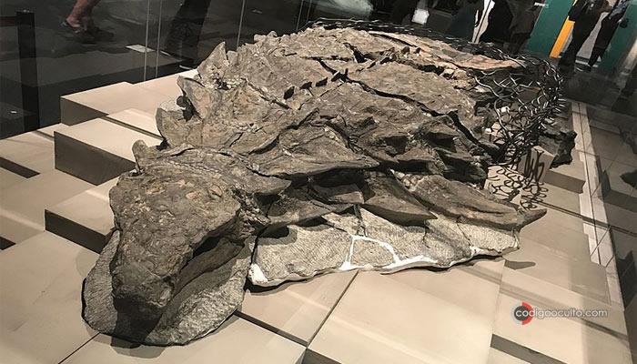 Este nodosaurio está tan perfectamente conservado que pesa prácticamente lo mismo de lo que pesaba originalmente