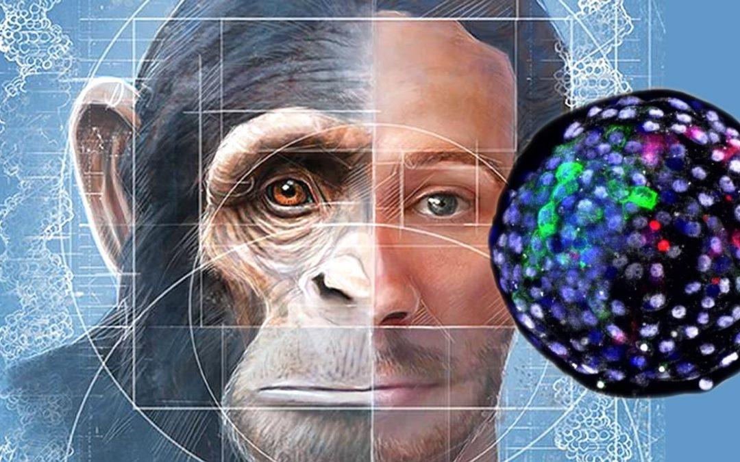 Embriones «quimera» humano y mono son cultivados en placas de laboratorio