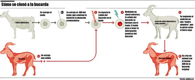 Infografía que muestra cómo se clono la Bucarda, o Cabra montesa de los pirineos