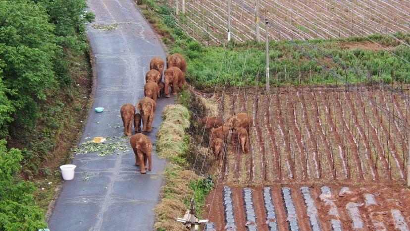 La manada de elefantes errantes mientras iban rumbo al norte de China