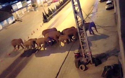 La manada de elefantes que emprendió una caminata de 500 kilómetros sin razón aparente en China