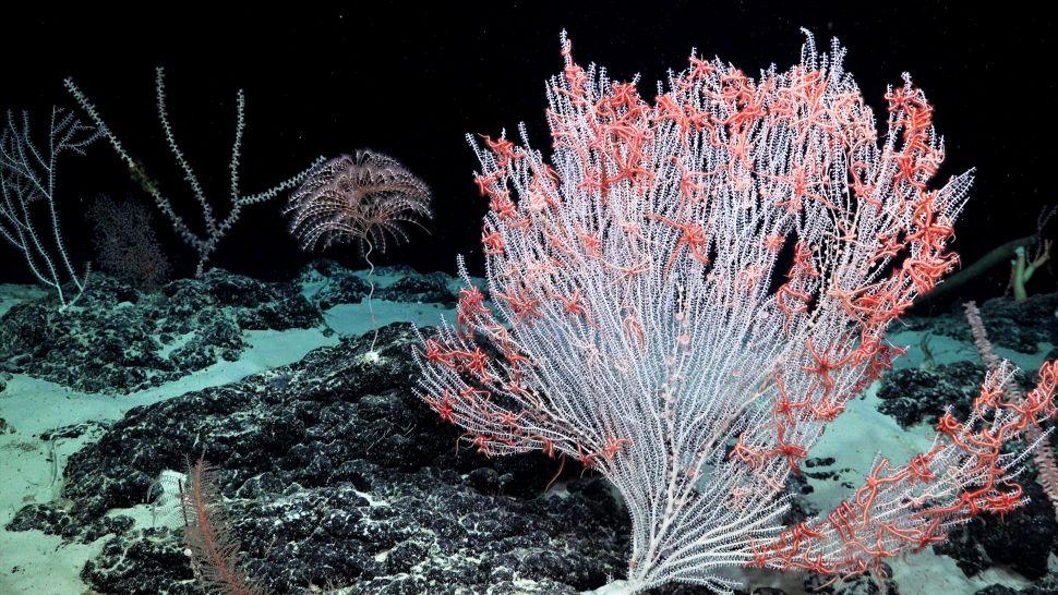Coral blanco cubierto de estrellas de abanico en el Océano Pacífico Central