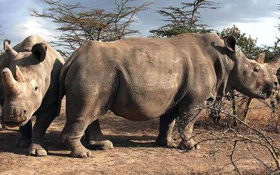 Científicos crean tres embriones para salvar al Rinoceronte Blanco del Norte de la extinción