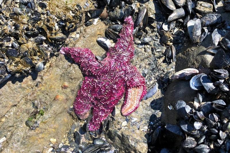 Una estrella muerta en West Vancouver, Columbia Británica. Si el calor extremo se vuelve demasiado frecuente, advierten los científicos, las especies normalmente resistentes no tendrán tiempo de recuperarse