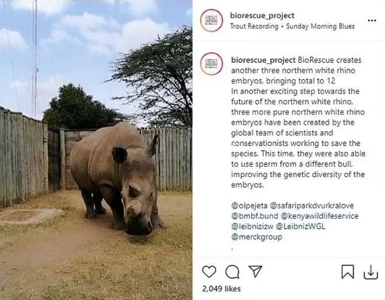 Los científicos crearon tres embriones más para ayudar a salvar al rinoceronte blanco del norte. El esperma provino de dos machos difuntos diferentes