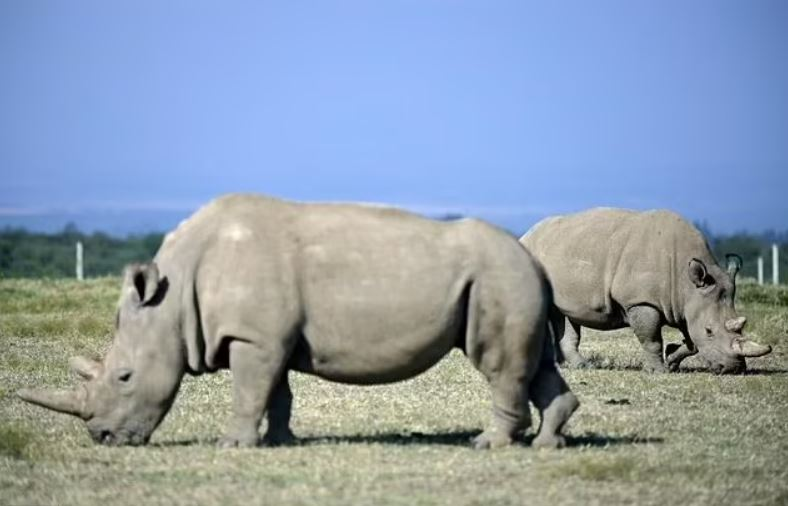 Fatu, a la derecha, y su madre Najin son los únicos dos rinocerontes blancos del norte que quedan. Fatu proporcionó los huevos para los embriones