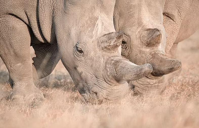 Se seleccionará una madre sustituta de un grupo de rinocerontes blancos del sur