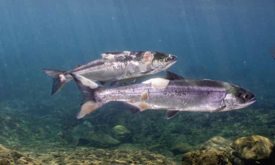 Las lesiones rojas y los hongos blancos en los cuerpos de los salmones son el resultado de las altas temperaturas del agua y el estrés