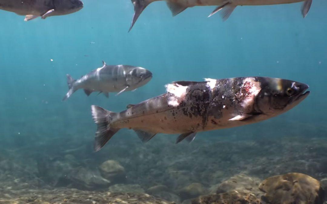 Hallan salmón con heridas por altas temperaturas en río Columbia tras la ola de calor