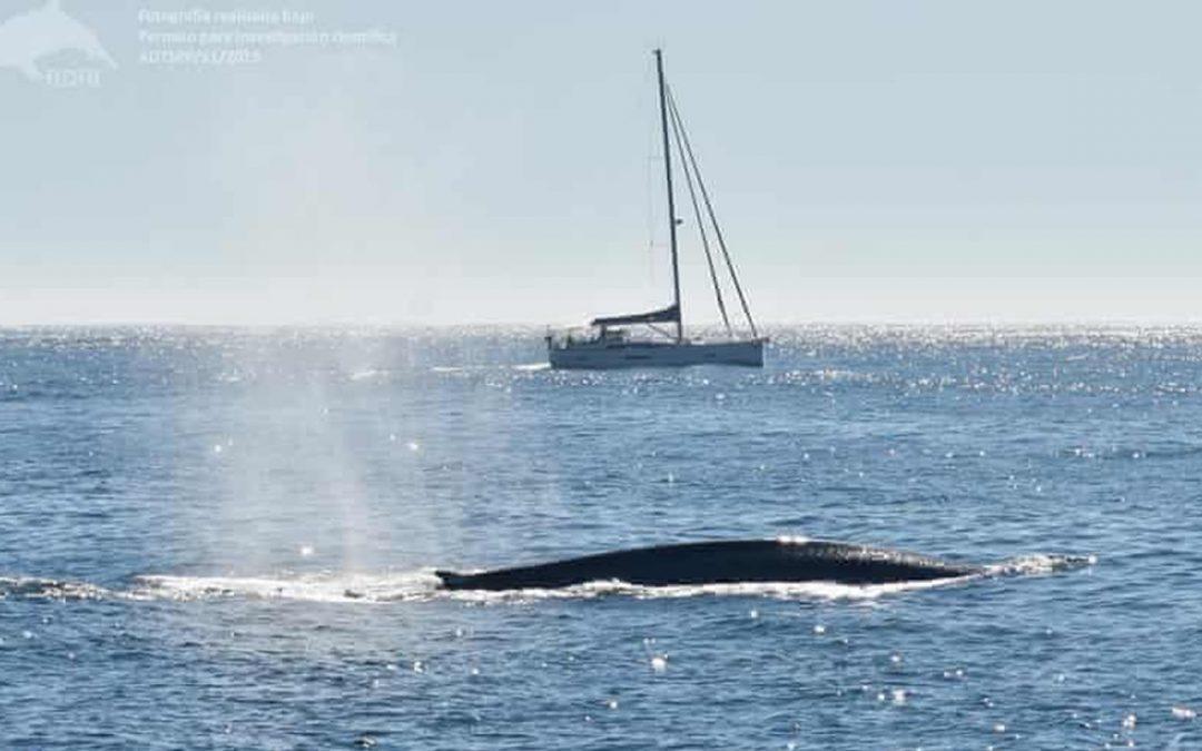 Ballenas azules regresan a costa atlántica de España tras 40 años, pero podría no ser del todo bueno