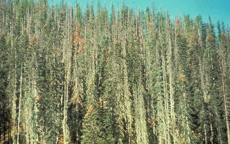 Bosque diezmado por Cronartium ribicola