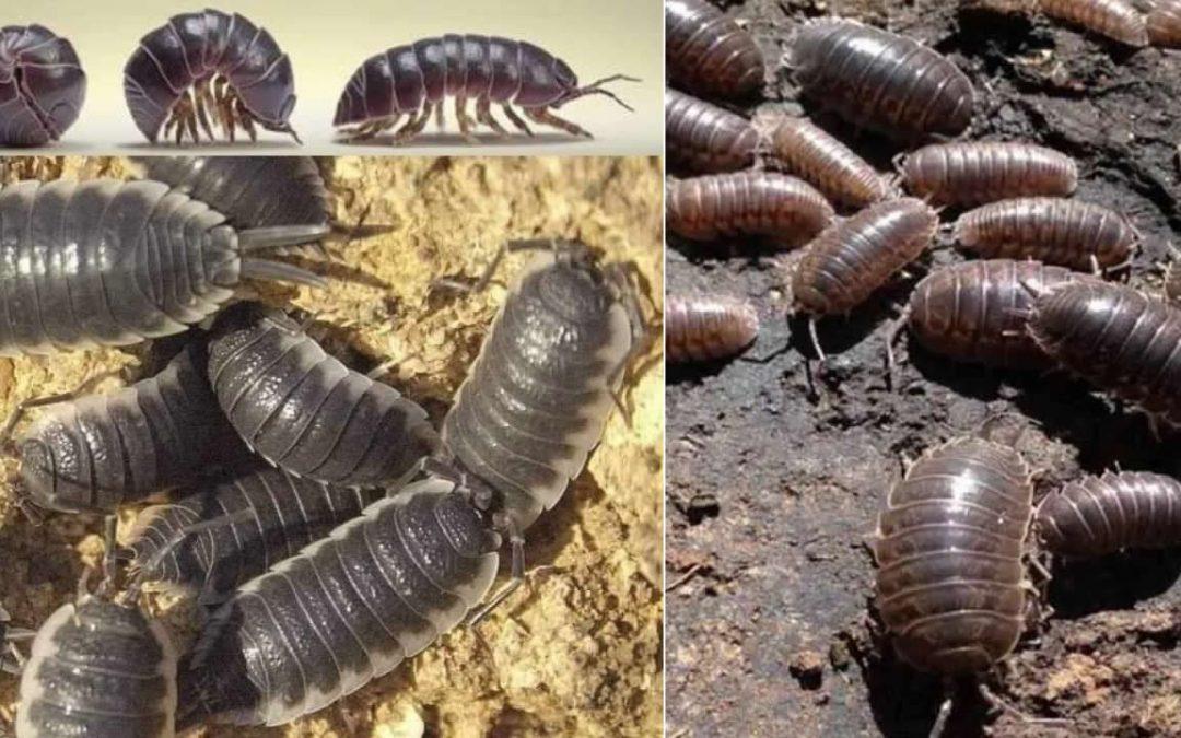 """""""Chanchitos de tierra"""", los pequeños animales que eliminan metales pesados de la tierra"""