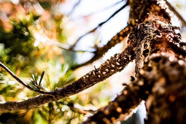 La roya ampulante del pino blanco mata ramas, copas de árboles y árboles enteros de pino blanco del este y causa manchas y pérdida de hojas en las plantas de grosella y grosella espinosa