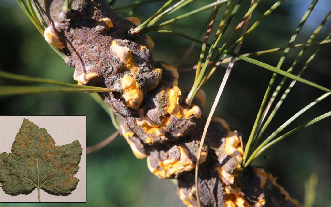 Enfermedad que mata árboles se está expandiendo a zonas más altas en Cordillera de Sierra Nevada