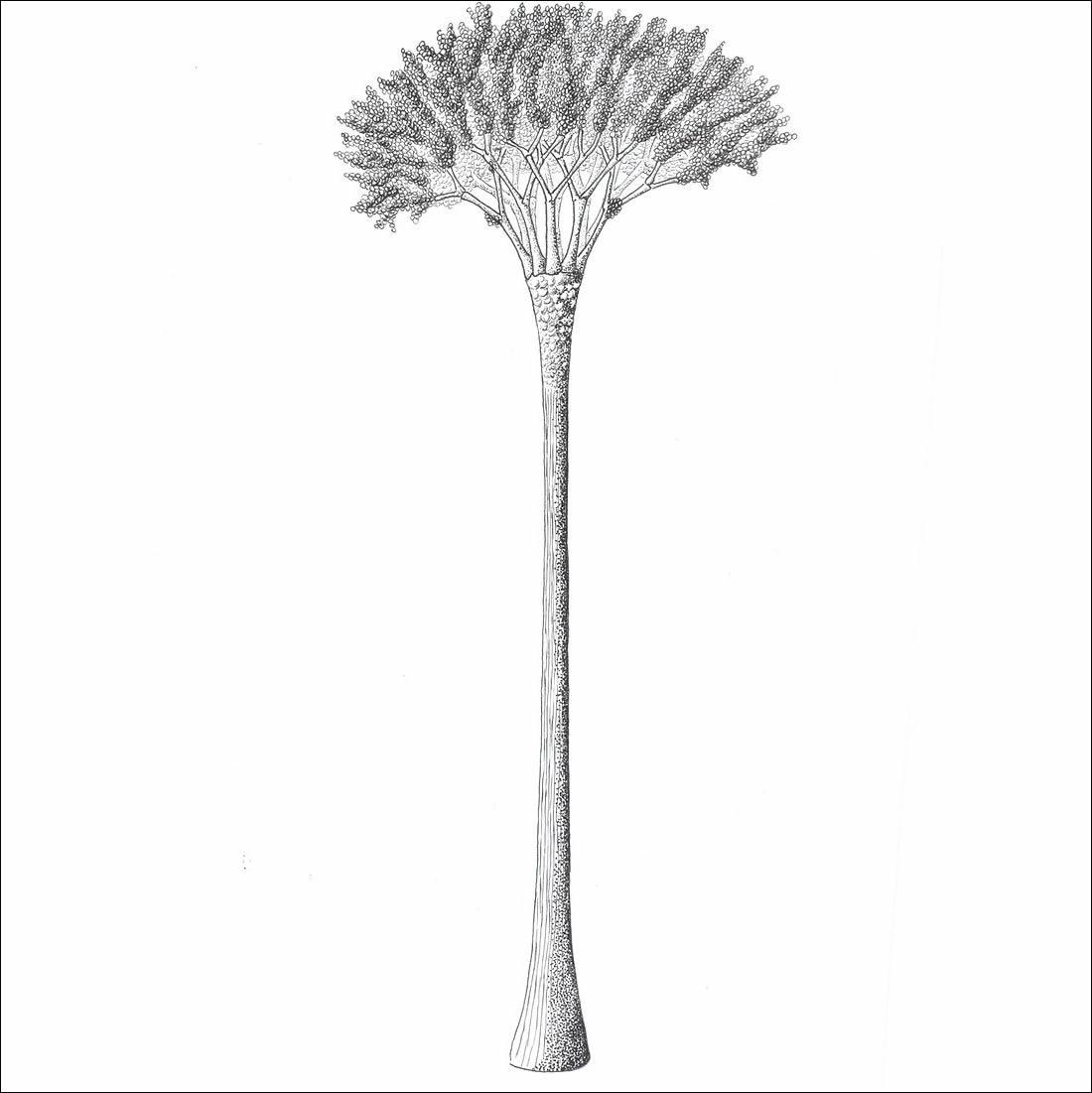 Reconstrucción aproximada del vegetal Eospermatopteris conocido a partir de sus restos fósiles.