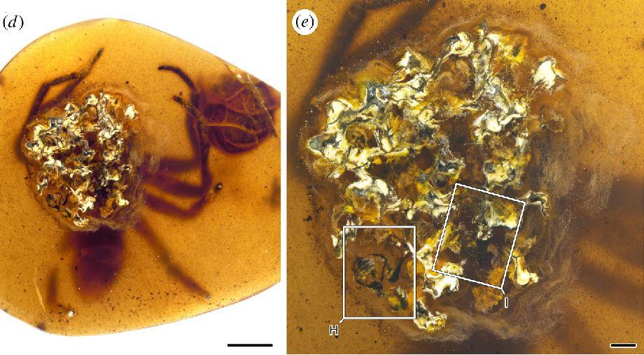 Un total de cuatro piezas de ámbar birmano encontradas en Myanmar cuentan una historia completa de la familia de arañas que vivió hace 99 millones de años. Una de las piezas alberga la araña adulta y parte de un saco de huevos