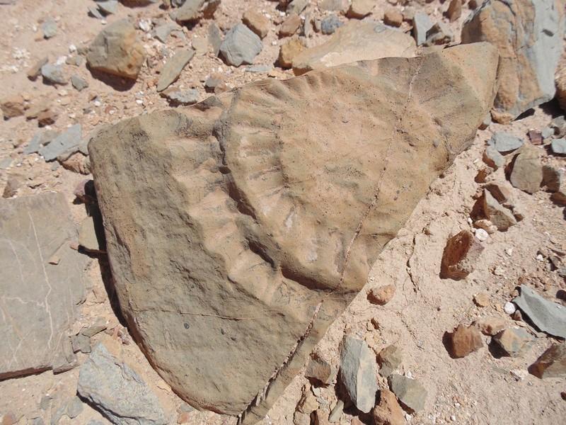Imagen del fósil de pterosaurio encontrado por un grupo de científicos en el desierto de Atacama, en el norte de Chile
