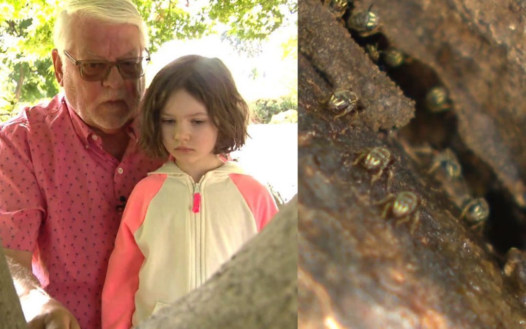 Niña de 4 años descubre una colonia de abejas sin aguijón que se creían extintas desde hace 70 años