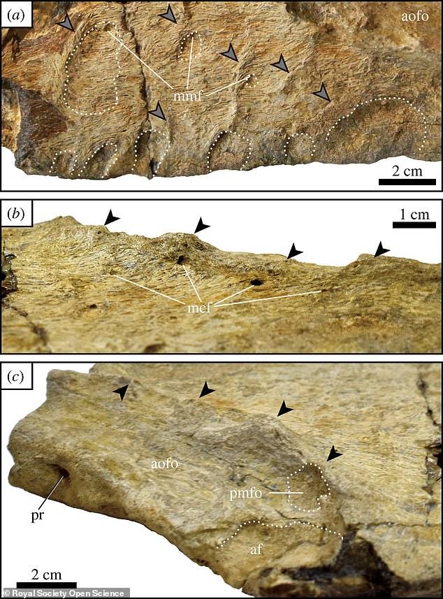 Un análisis de la mandíbula del dinosaurio sugiere que tenía dientes en forma de cuchilla que medían hasta 15 cm. de largo, similar a los de un gran tiburón blanco