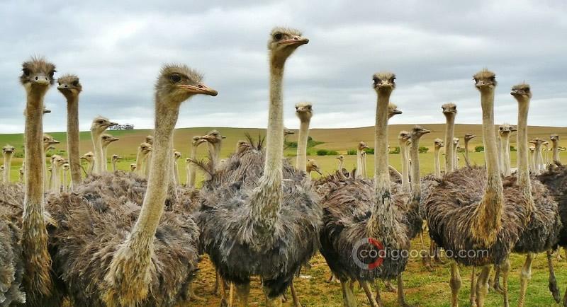 Un grupo de avestruces