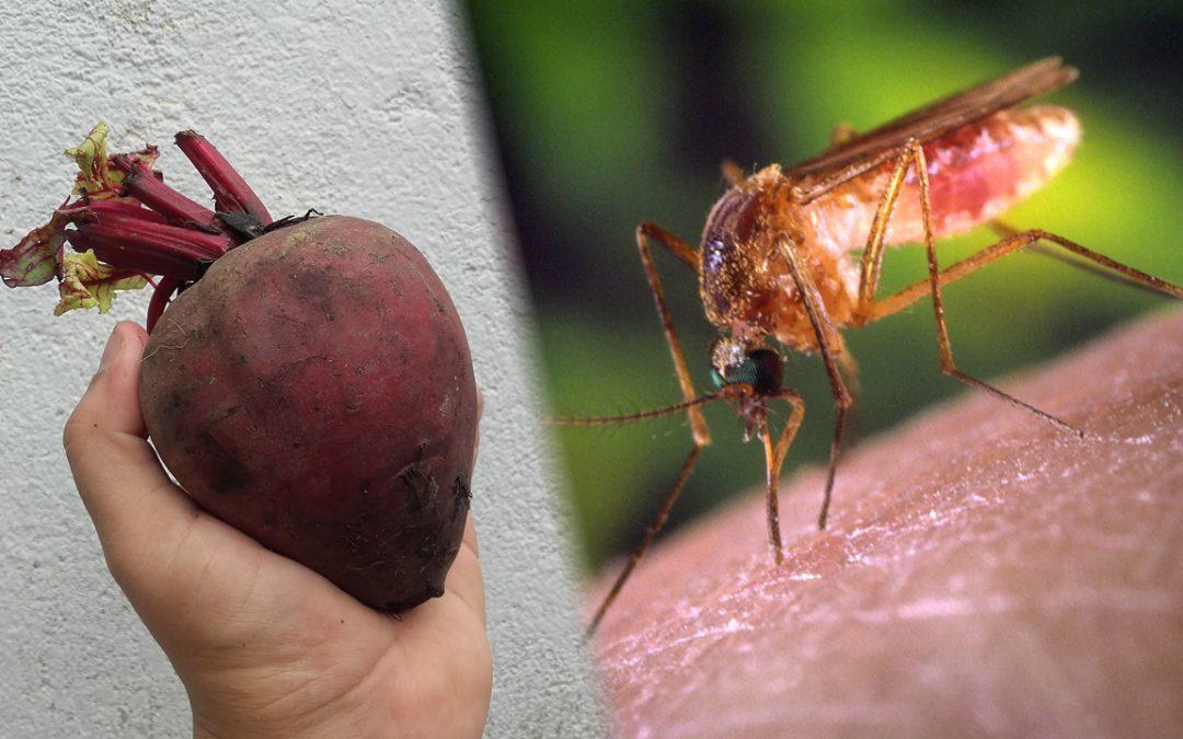 Científicos descubren como engañar a mosquitos con jugo de remolacha tóxico que creen es sangre humana