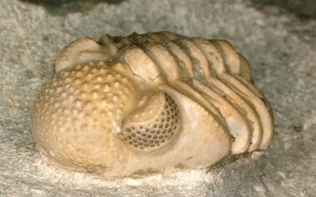 Este fósil de trilobites de 390 millones de años tenía muchos ojos diminutos dentro de sus ojos