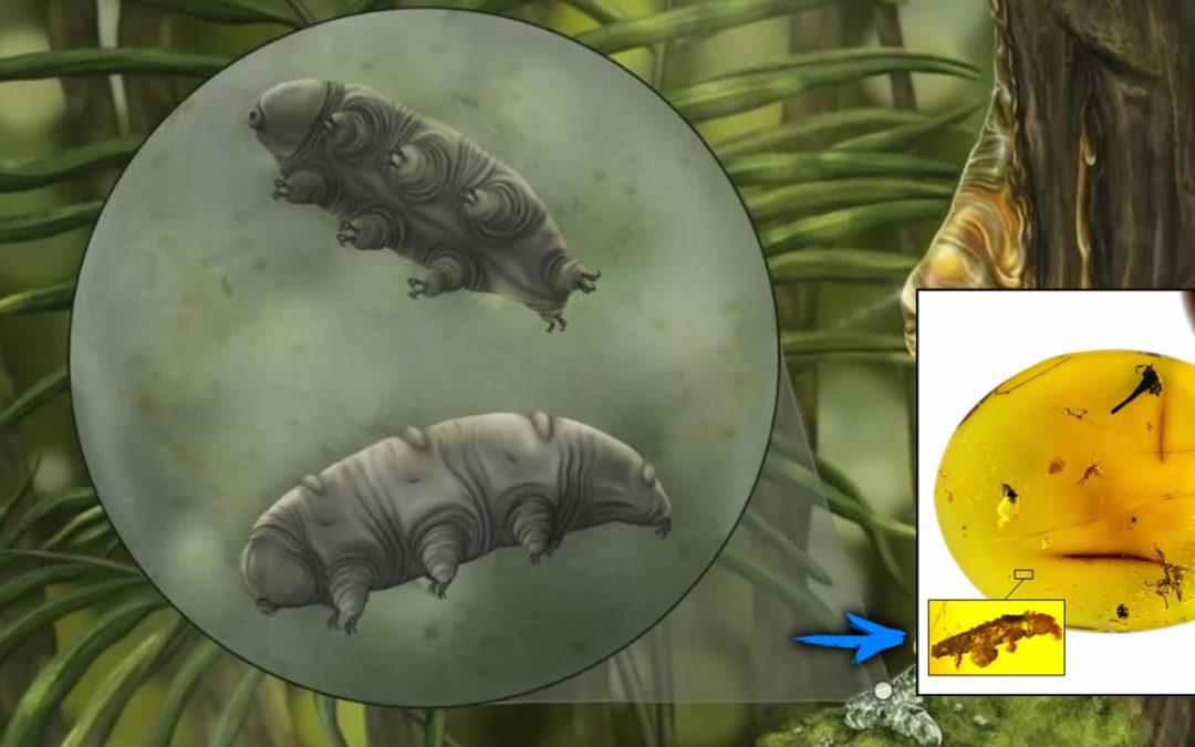Hallan un nueva especie de tardígrado de 16 millones de años y atrapado en ámbar